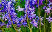 Spring garden flowers, Violet Iris