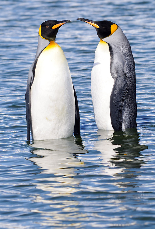 Two King penguins (Aptenodytes patagonicus) stand in shallow water near their nesting colony. Salisbury Plain, Bay of Isles, South Georgia.
