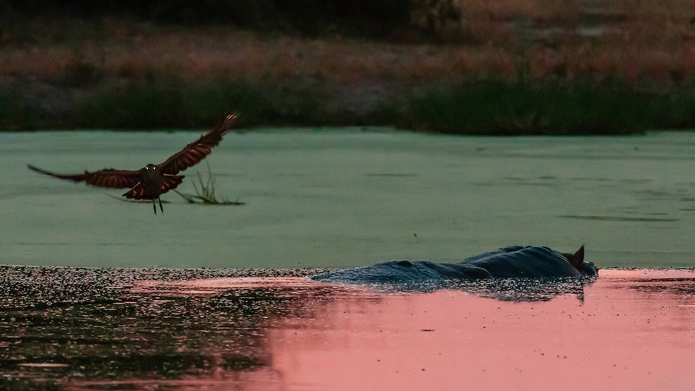 A hippo peering above the water in a pond after sunset with a bird on it's back, Kwando Concession, Linyanti Marshes, Botswana.