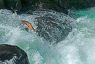 Steelhead<br /> <br /> Patrick Clayton/Engbretson Underwater Photography Steelhead (jumping waterfall)<br /> <br /> Patrick Clayton/Engbretson Underwater Photography