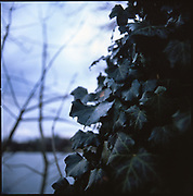 Ivy, Suffolk, 2010