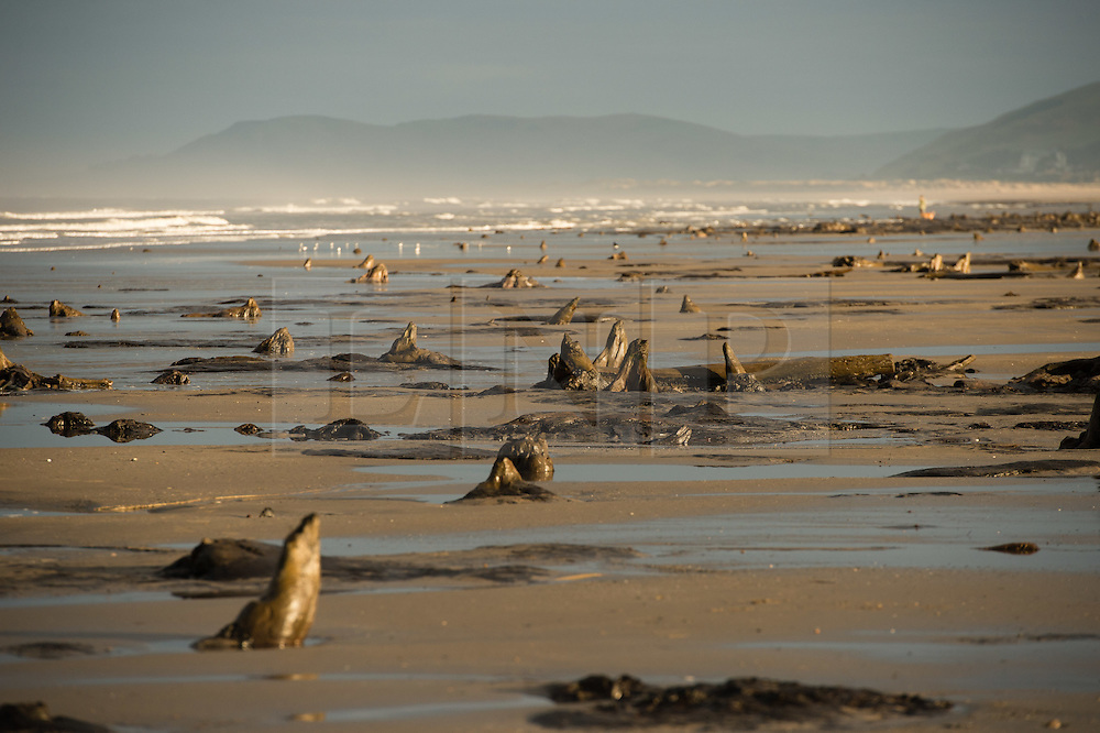 **VIDEO AVAILABLE** © London News Pictures. 13/03/2016 Borth, Wales, UK.   After a series of intense winter storms, and at very low tide, the eerie remains of the 'lost' bronze age oak forest appear along the beach at Borth, just north of Aberystwyth on the west Wales coast. The trees give some credence to the enduring legend of the 'sunken kingdom' of Cantre'r Gwaelod that according to legend was lost under the waters of Cardigan Bay. Much more of the sand that has usually covered the stumps of these ancient trees has been washed way over the winter, and there is some concern locally that the recently completed multi-million pound sea defence scheme to protect the low lying village is exacerbating the situation, and possibly threatening  the continuing  preservation of the forest. Photo credit: Keith Morris/LNP