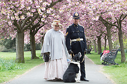 © Licensed to London News Pictures. 14/04/2017. People continue to enjoy the cherry blossom in Greenwich Park, south east London , on Good Friday. Credit: Rob Powell/LNP