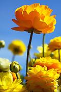 Marigolds Spring Bloom