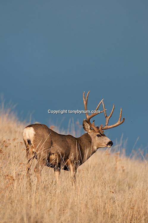 trophy mule deer buck open country on ridge