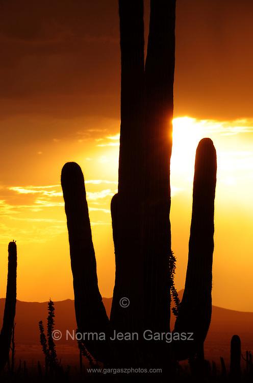 Saguaro Cactus (Carnegiea gigantea) tower over Saguaro National Park West in the Sonoran Desert in Tucson, Arizona, USA.