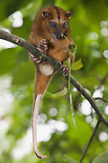 A small Cuscus (Strigocuscus celebensis) feeding on leaves, Sulawesi, Indonesia