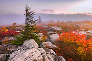 A misty fall morning showcases a windswept pine contrasted against a colorful array of foliage on Bear Rocks in the Dolly Sods Wilderness of West Virginia.
