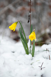 © Licensed to London News Pictures. 22/03/2013. Sheffield. Spring daffodils can be seen in the thick snow. The residents of Sheffield woke to heavy snow again this morning. There is more snow forecast for the rest of the day and tomorrow in Sheffield. Photo credit : David Mirzoeff/LNP