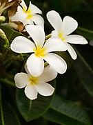 Image of plumeria blossoms on Kauai, Hawaii, USA.