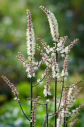 Actaea japonica compact syn. Actaea acerina, Cimicifuga acerina. Japanese bugbane