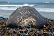 Huge, female elephant seal (Mirounga leonina) from Sea Lion Island, the Falkland Islands.