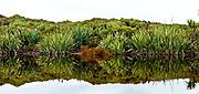 Flax plants reflection panorama, Three Mile lagoon, Okarito, Westland National Park, West Coast, New Zealand