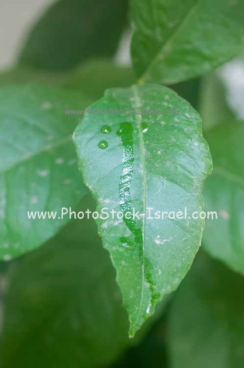 honeydew caused by the secretion of Mealy bugs on a citrus leaf. Photographed in Israel