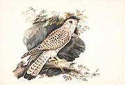 Female Common kestrel (Falco tinnunculus) perched on a branch. This bird of prey is a member of the falcon (Falconidae) family. It is widespread in Europe, Asia, and Africa, and is sometimes found on the east coast of North America. 18th century watercolor painting by Elizabeth Gwillim. Lady Elizabeth Symonds Gwillim (21 April 1763 – 21 December 1807) was an artist married to Sir Henry Gwillim, Puisne Judge at the Madras high court until 1808. Lady Gwillim painted a series of about 200 watercolours of Indian birds. Produced about 20 years before John James Audubon, her work has been acclaimed for its accuracy and natural postures as they were drawn from observations of the birds in life. She also painted fishes and flowers. McGill University Library and Archives