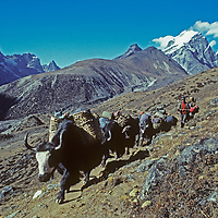 A Sherpa guide herds a train of yaks carrying expedition equipment down from a climbing school run near the Cho La Pass by the Eastern Sierra Himalayan Expedition in fall 1980.  Cholatse Peak in the the right background.