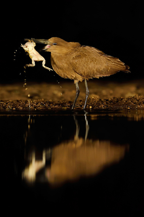 Hammerkop or Hammerhead stork, Scopus umbretta, eating a toad, Zimanga Private Nature Reserve, KwaZulu Natal, South Africa