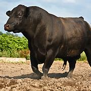 20110621Black Angus Cattle