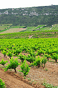 Vines. Mas Amiel, Maury, Roussillon, France