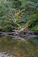 Fall foliage, stumps and logs along the Ohanapecosh River in Mount Rainier National Park, Washington State, USA