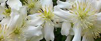clematis flowers macro panorama