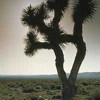 Joshua Tree grows in Las Vegas Valley near nuclear test range.