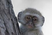 Vervet monkey (Chlorocebus pygerythrus), Moremi Game Reserve, Okavango Delta, Botswana.
