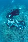 manta researcher Guy Stevens photographs reef manta rays, Manta alfredi (formerly Manta birostris ), at cleaning station on coral reef, Manta Point, Lankan, North Male Atoll, Maldives ( Indian Ocean )