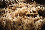 Wheat on the third floor storage area of Namgay and Nalim's house, Shingkhey Village, Bhutan. The family of subsistence farmers lives in a 3-story rammed-earth house in the hillside village of Shingkhey, Bhutan. Nalim and her daughter Sangay work as partners; they take turns caring for the children and working in their mustard, rice, and wheat fields. Namgay, who has a hunched back and a clubfoot, grinds grain for neighbors with a small mill his family purchased from the government. From Peter Menzel's Material World Project that showed 30 statistically average families in 30 countries with all their possessions.