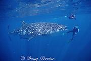 underwater photographers and whale shark, Rhincodon typus, Endangered Species, off Ningaloo Reef, Western Australia ( Indian Ocean )