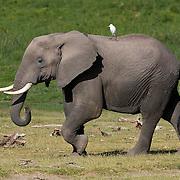 African Elephant, (Loxodonta africana) Amboseli National Park. Kenya. Africa.