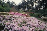 Rhododendron Garden, Dandenong, Australia