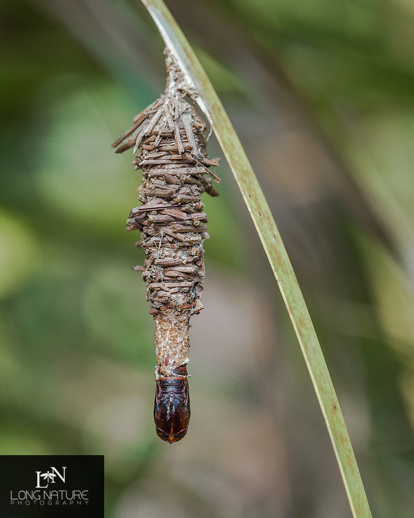 Abbot's bagworm moth (Oiketicus abbotii) empty cocoon and exuvia