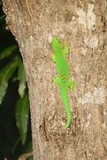 Madagascar, day gecko (Phelsuma madagascariensiss)