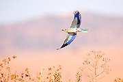 European roller (Coracias garrulus) in flight. This migrant bird is the only roller bird family member to breed in Europe. It is also found in the Middle East, Central Asia and Morocco, and winters in southern Africa. It often perches conspicuously in the tops of trees, where it can spot prey such as insects and lizards, although it is known to take small birds, frogs and mammals. Photographed in Israel in July