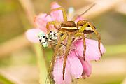 Raft spider (Dolomedes fimbriatus) eating damselfly. Arne, Dorset, UK.