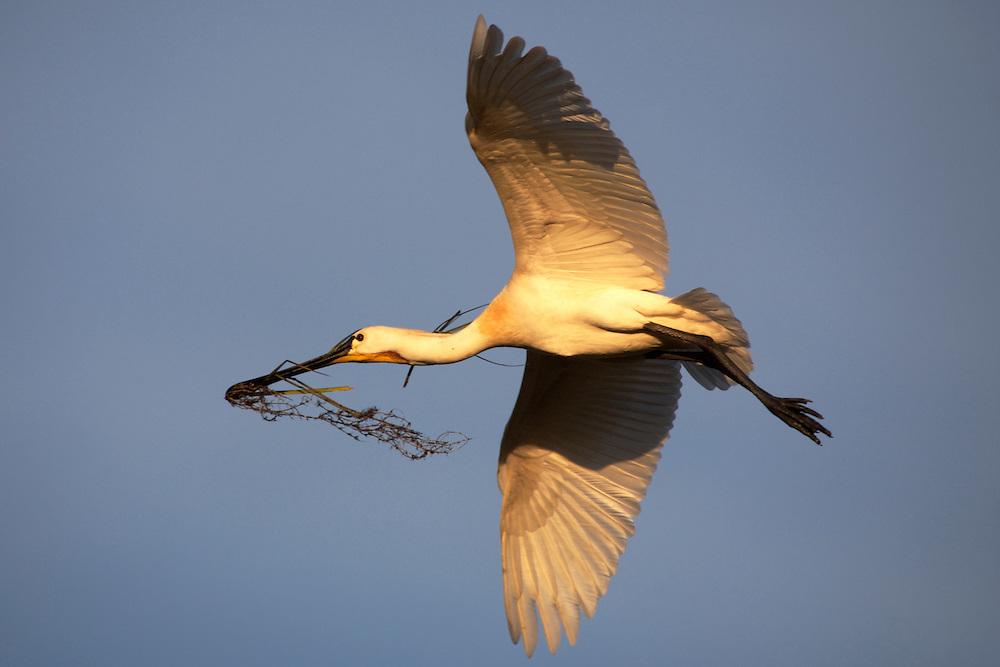 España. Andalucía. Huelva.<br /> Espátula llevando ramas en su picov para hacer un nido en el Parque Nacional de Doñana.<br /> <br /> ©JOAN COSTA