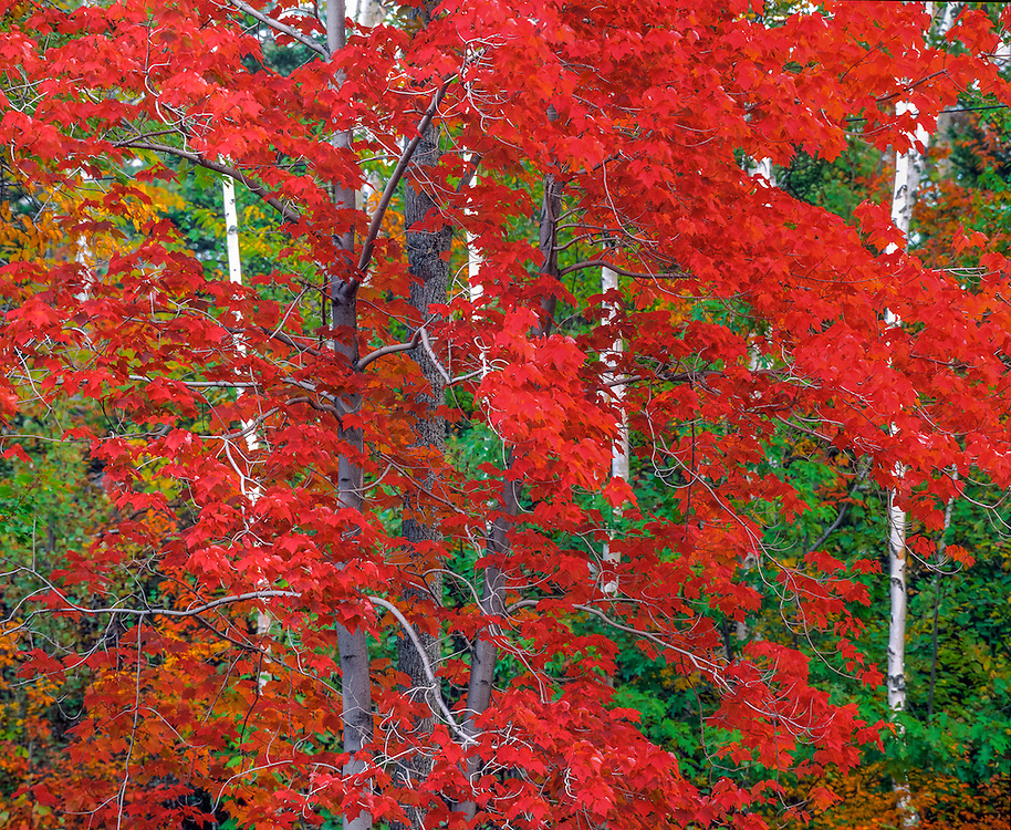 Brilliant red maple tree & leaves, birch tree trunks, fall foliage, Keene, NY