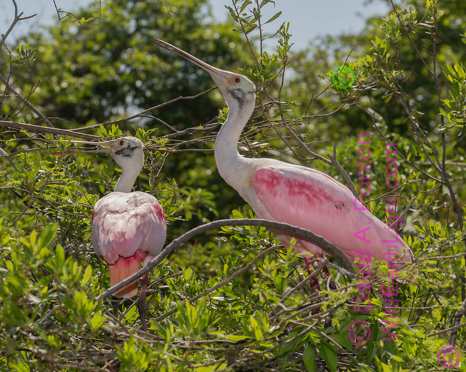 Roseate spoonbill mated pair starting nest construction in wetland foliage, Florida, © David A. Ponton