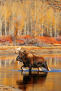 Artistic watercolor effects applied to a photograph of a large bull moose crossing Oxbow Bend in Grand Teton National Park.