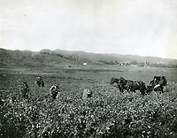 1903 Sweet pea field in Hollywood