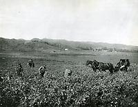 1903 Sweet pea field in Hollywood