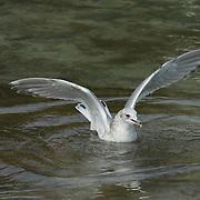 Immature gull feeding on salmon eggs taken from the bottom of the river. Katmai National Park, Alaska.