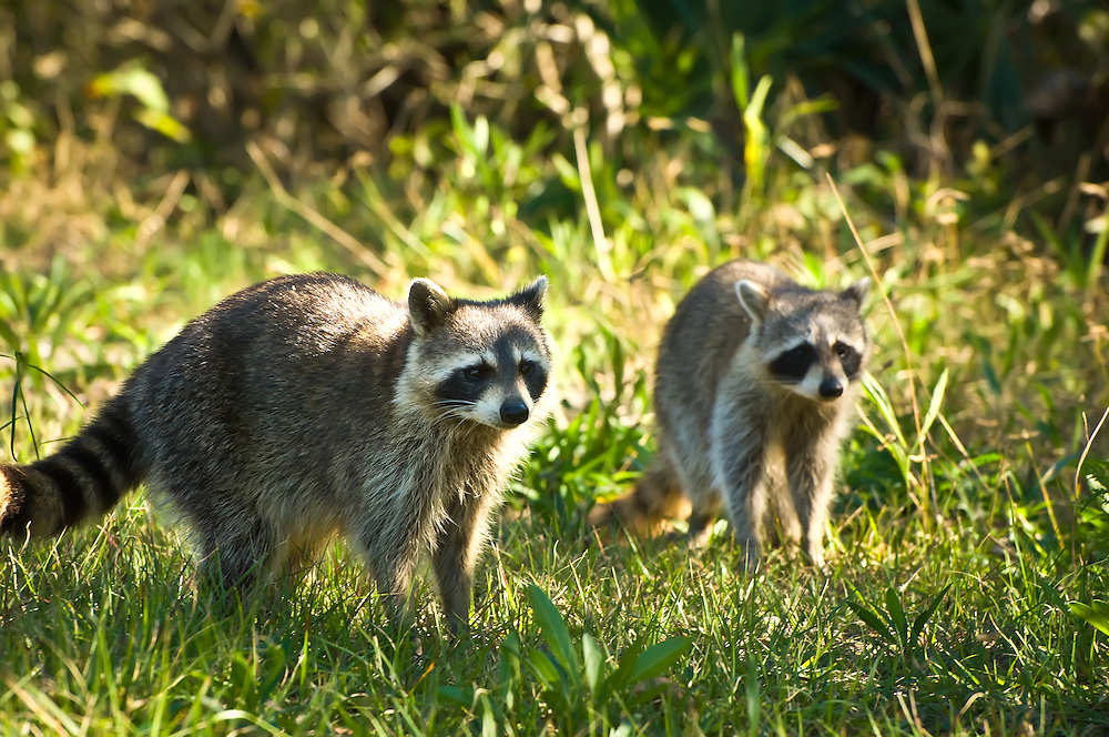 More Sanibel raccoons. The island has a huge population of them, and they can often be seen among the mangroves, looking for food.