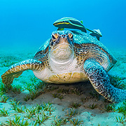 A green sea turtle (Chelonia mydas) rests while feeding on seagrass (Halophila stipulacea) wihile two remora fish (Echeneis naucrates) wait for scraps in the Red Sea off Marsa Alam, Egypt.