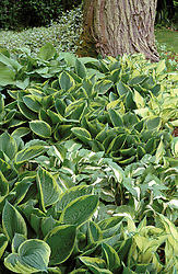 Shady groundcover planting of mixed hostas