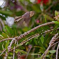 A female Bushtit (Psaltriparus minimus) perches in a yard in Pleasant Hill, California. Bushtit (Psaltriparus minimus) flies through a Bottlebrush bush in Pleasant Hill, California.