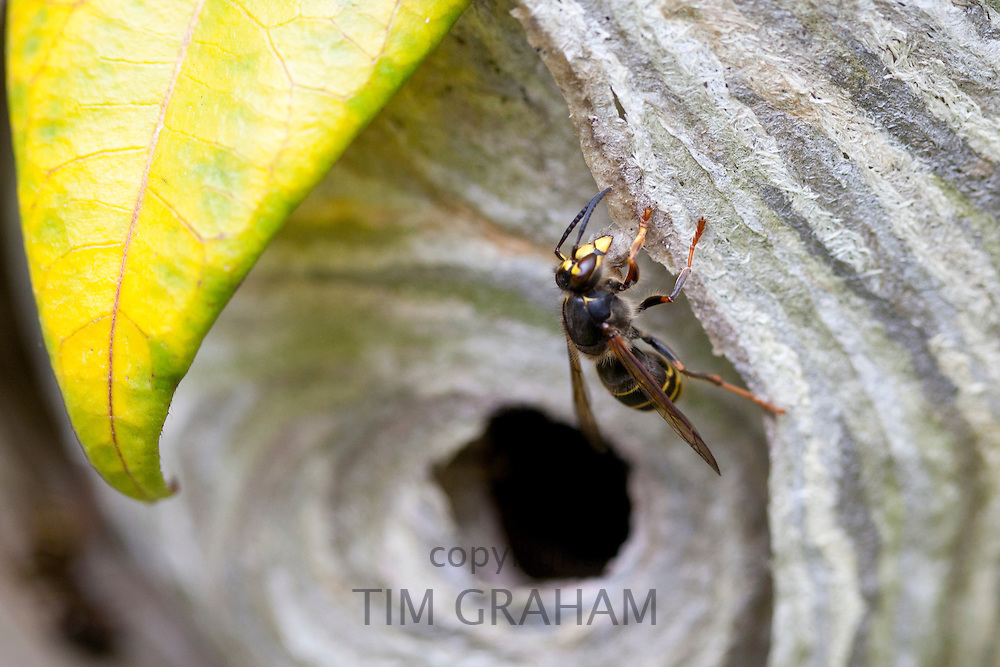 Common wasp, Vespula vulgaris, yellowjacket, building wasp nest with wood pulp, in the Cotswolds, Oxfordshire, UK