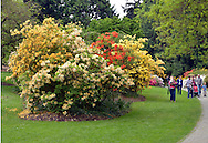 Clump of Rhodedendrons