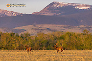 Bull elk in velvet along the Rocky Mountain Front near Choteau, Montana, USA